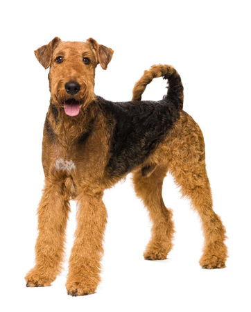 airedale terrier dog: Cute Airedale Terrier isolated on white