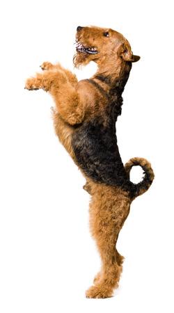 Leuke Airedale Terrier die zich op twee benen bevindt