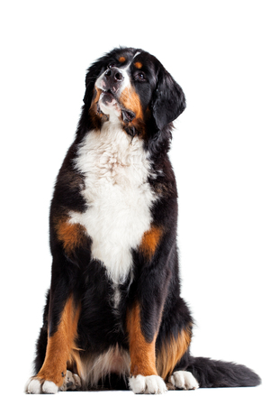 bernese: Bernese mountain dog in front of a white background.