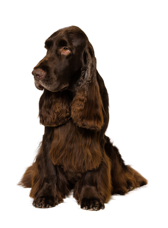 Field Spaniel sitting on white Background