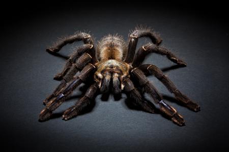 arachnophobia: Big brown spider on dark background