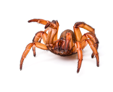 arachnophobia animal bite: Big red spider on white background