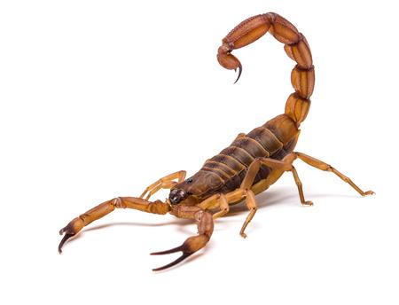 Brown Scorpion in de voorkant van een witte achtergrond. Stockfoto