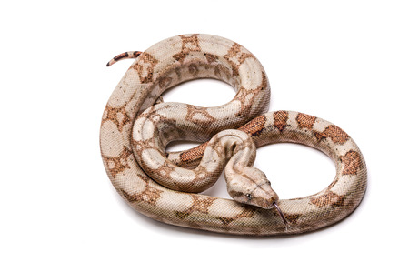 Columbian Boa boa constrictor imperator in hypomelanistic color phase. Stock Photo