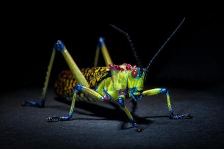 beautifull: Beautifull colorful Grasshopper on dark Stock Photo