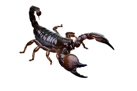front side studio photography of a Black Scorpion isolated on white 版權商用圖片