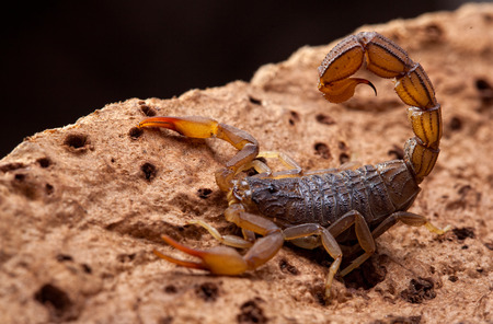 front side studio photography of a Scorpion on bark Imagens