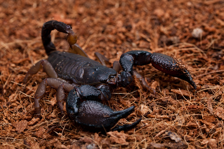 turba: front side studio photography of a Black Scorpion on peat