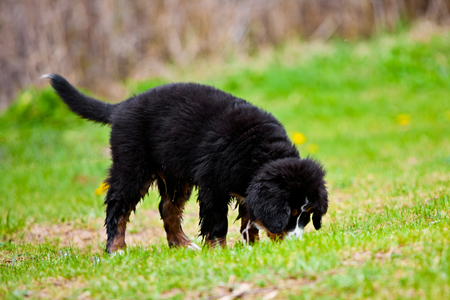confined space: Bernese mountain dog puppy sniffs in grass