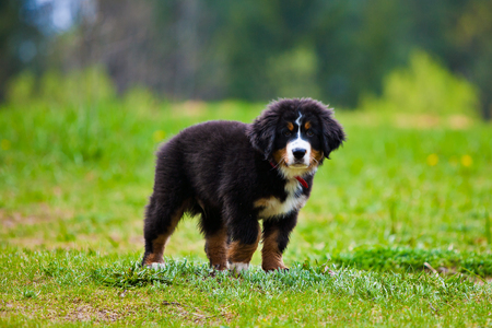 confined space: Bernese mountain dog happily standing on the grass Stock Photo