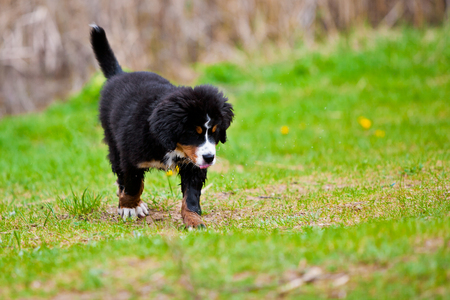 confined space: Bernese mountain dog happily running along the pasture
