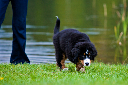bernese mountain dog: Bernese mountain dog sad in the grass Stock Photo
