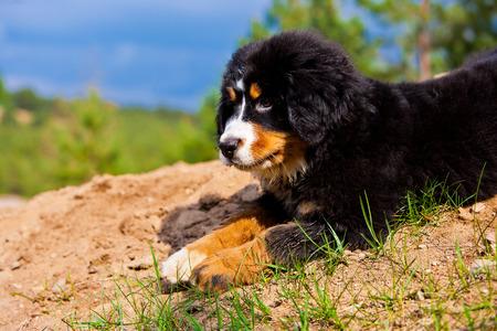 bernese mountain dog: A Bernese Mountain Dog puppy.
