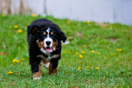 swiss culture: Bernese mountain dog happily running along the pasture