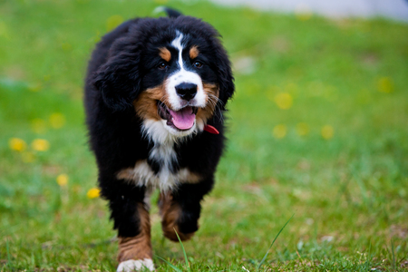 Bernese mountain dog happily running along the pasture