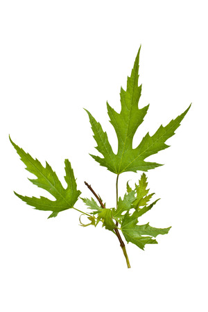 silver maple: A Silver Maple branch with leaves