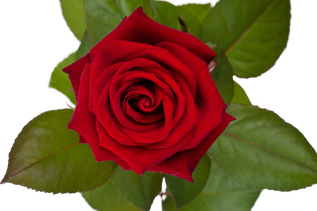 high section: Full view above the head of a rose.