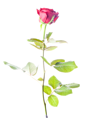 high section: A single rose on white background