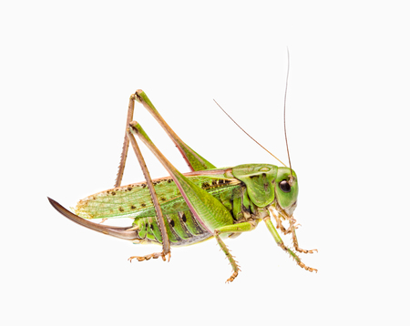 cricket insect: Green grasshopper isolated on white.