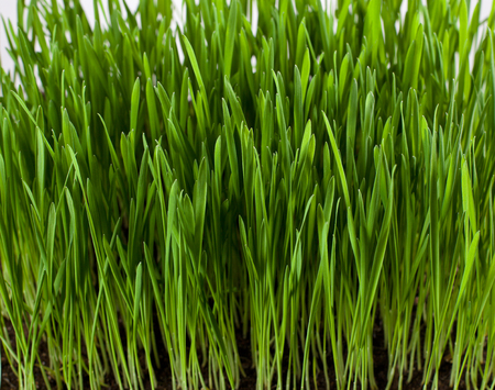grass roots: Grass leaves and roots