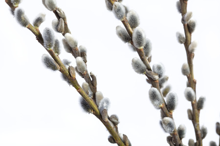 pubescent: nice willow catkins - early spring salix flowers Stock Photo