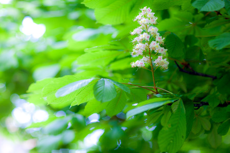 minutiae: chestnut tree branch with leaves and flowers Stock Photo