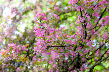 redbud tree: Eastern redbud tree in full bloom Stock Photo