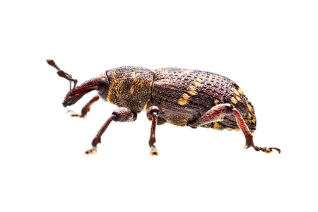 chitin: Closeup shot of a beetle isolated on white background Stock Photo