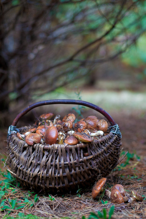 cepe: Basket with mushrooms in forest Stock Photo