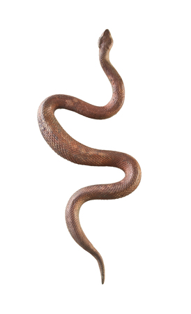 白い背景に分離された真鍮蛇 写真素材