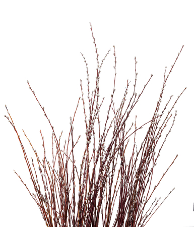 Willow twig isolated on white