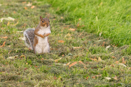 Eye contact with single adorable grey squirrel in a park. Stock Photo