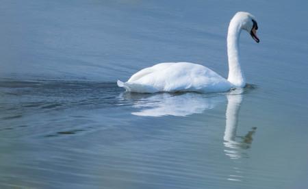 Mute Swan in a lake.