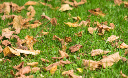 red carpet background: Autumn lawn with fallen down leaves.