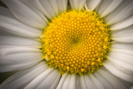 marguerite: Oxeye Daisy close up macrophotography.