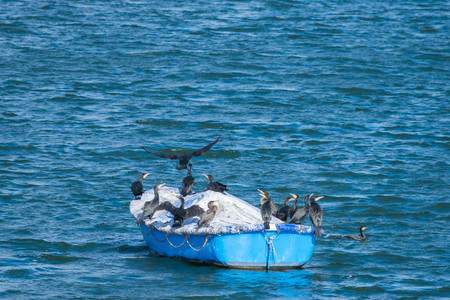 group of the Great Cormorant birds on a boat in Draycote Waters lake, UK Stock Photo