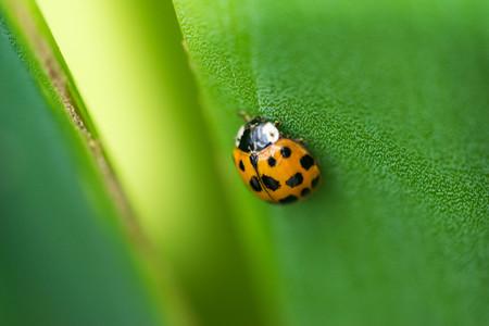 Ladybug on a green leaf texture