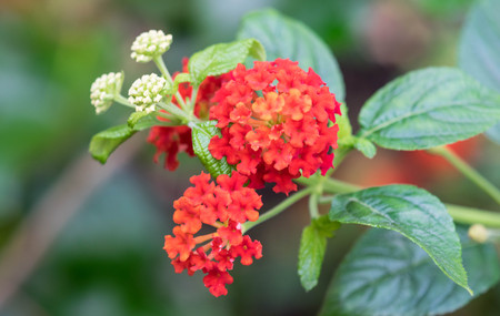 lantana: Colorful Hedge Flower, Weeping Lantana, Calippo Yellow