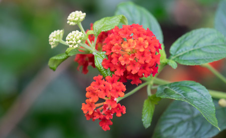 plants species: Colorful Hedge Flower, Weeping Lantana, Calippo Yellow