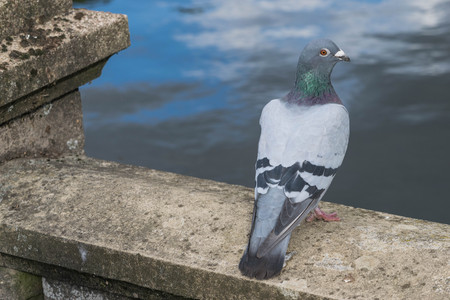 Columbia Livia, the Rock Dove looking directly at the camera. Stock Photo