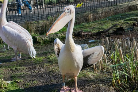 Great white or eastern white pelican, rosy pelican or white pelican, close-up view.