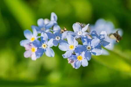 Timelittle blue forget me not flowers, spring time Banco de Imagens