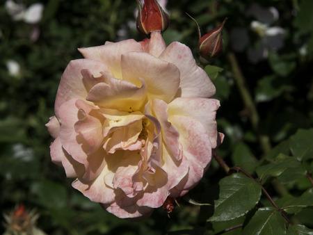 blumen: rose close up Stock Photo