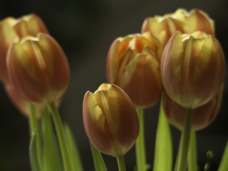 blte: tulpe
