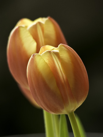 frhling: Tulpe Stock Photo
