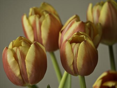frhling: tulpe