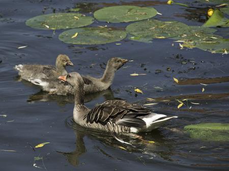 seerosen: goose Stock Photo