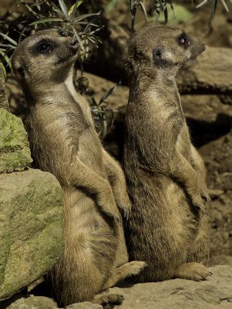erdmaennchen: Mongooses