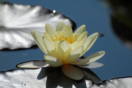 seerosen: pond