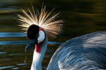 crowned crane: Crowned Crane